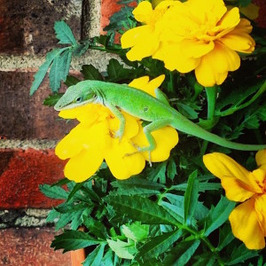 lizard sitting on yellow flowers